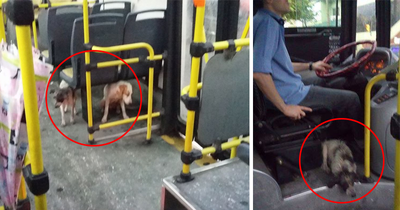 Bus Driver Takes Soaked Dogs On Board