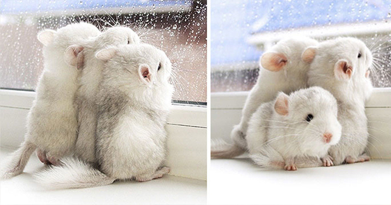 10+ Baby Chinchillas That Are Just Too Cute