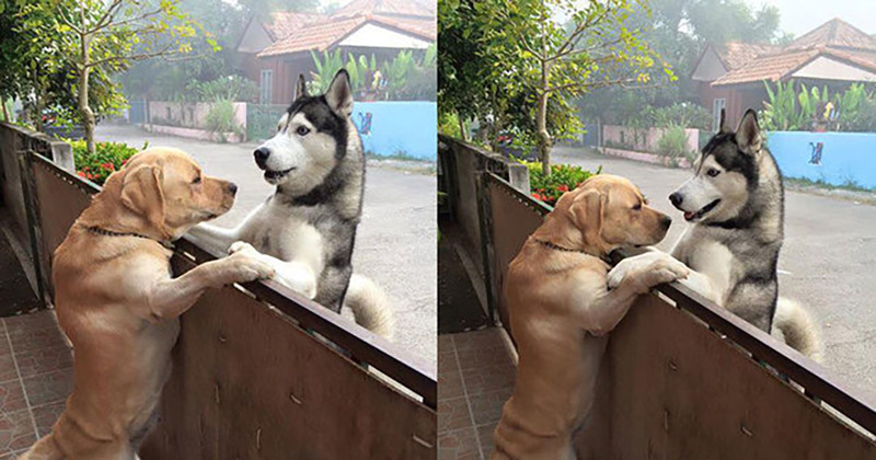No Fence Can Stop The Friendship Of These Dogs