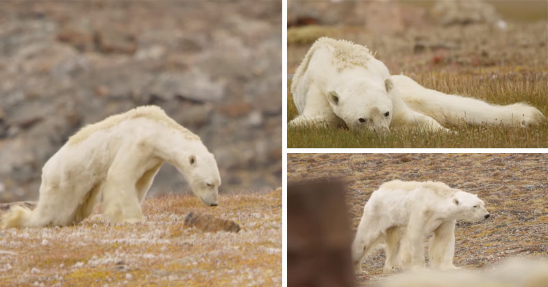 Polar Bear Starves To Death On Iceless Land