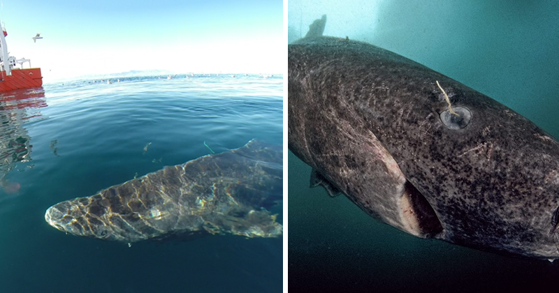 Greenland Shark Swims For 400 Years, Matures At 150