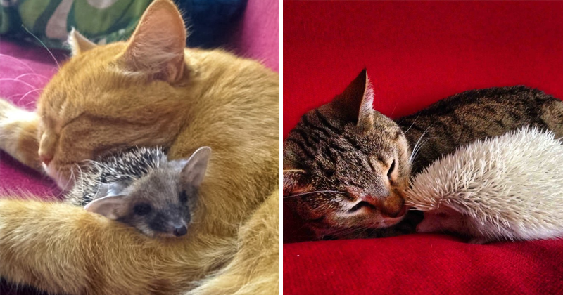 Brighten Your Day With 10+ Images Of Hedgehogs And Cats Being Friends