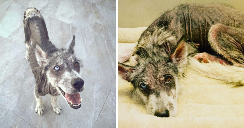 You Won't Believe The Transformation Of This Rescued Husky