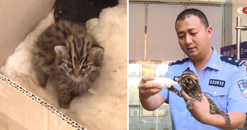 Why Did The Police In Southwest China Adopt A Baby Leopard?